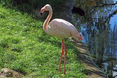 Flamingo (Zoo Neuwied)