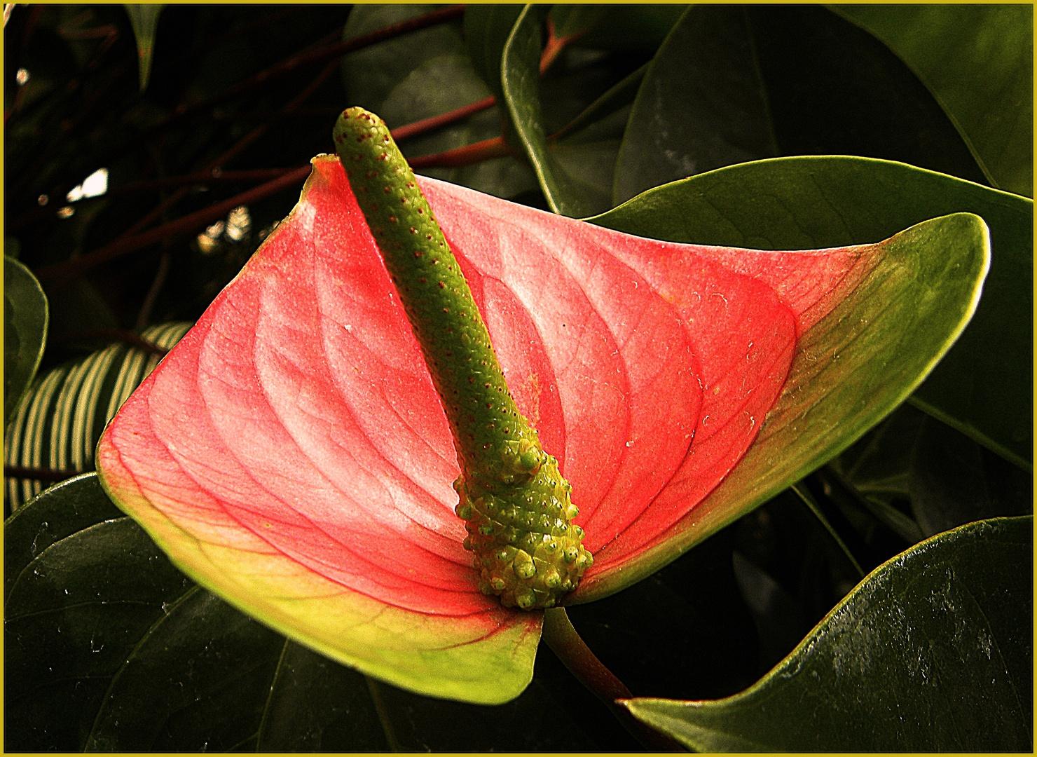 Flamingoblume, die Pflanze mit dem Schwanz......