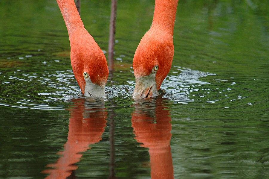 Flamingoduo