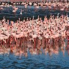 Flamingoes at the Walvis Bay Lagune