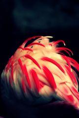 Flamingofedern