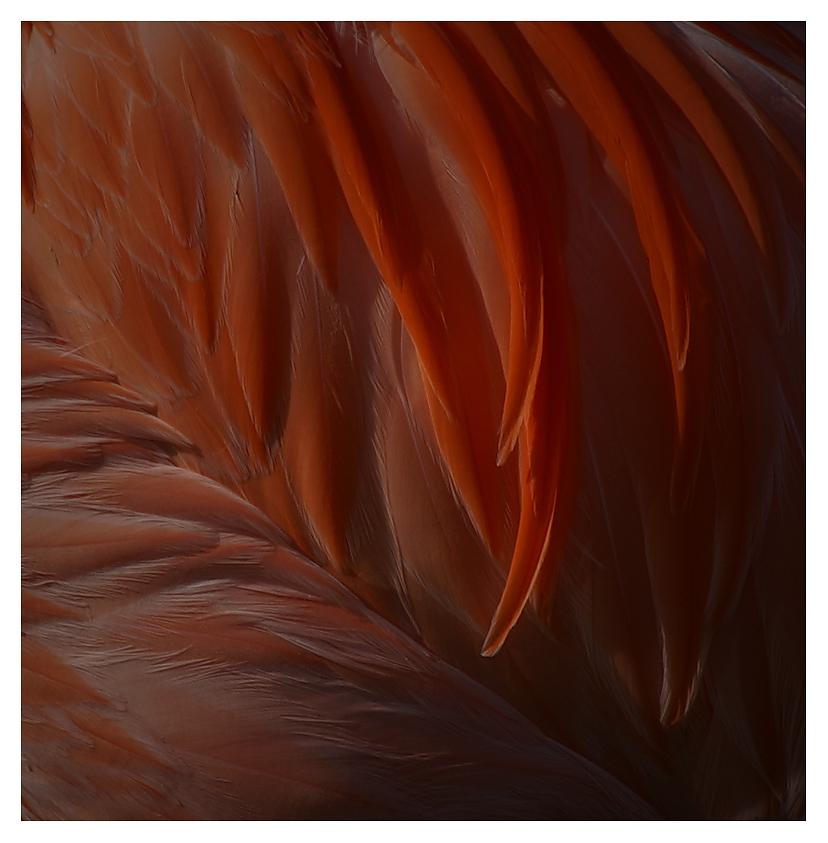 Flamingofedern II
