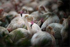 Flamingokolonie