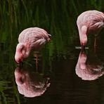 Flamingos 002
