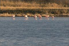 _flamingos