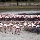 Flamingos am Empakay Krater 2