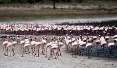 Flamingos am Empakay Krater 2