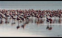 ... Flamingos at Lake Nakuru, Kenya ...