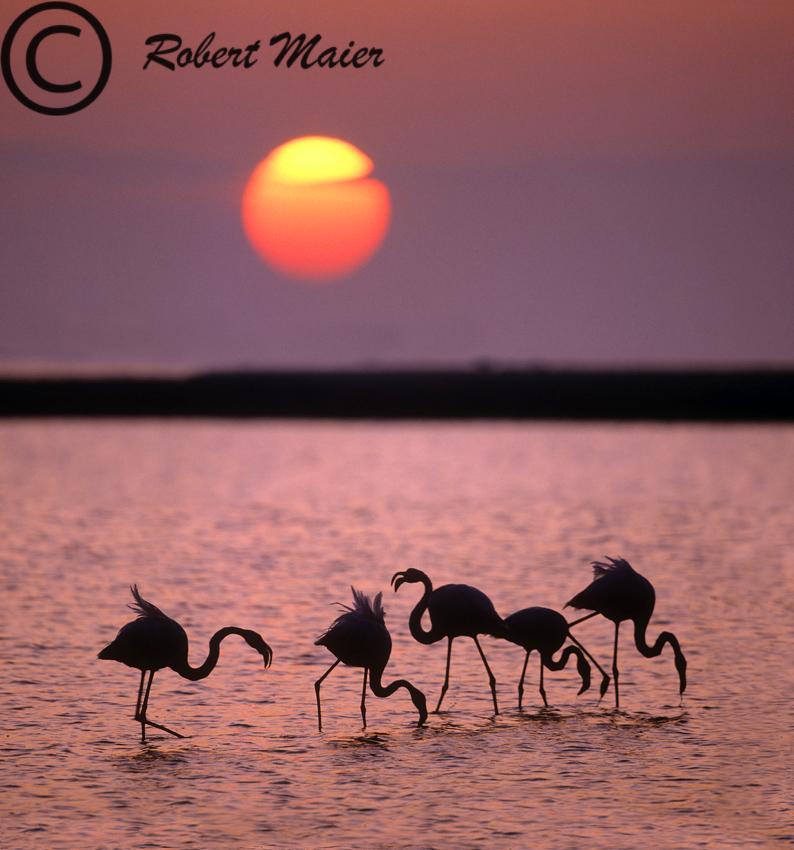 Flamingos bei Sonnenaufgang