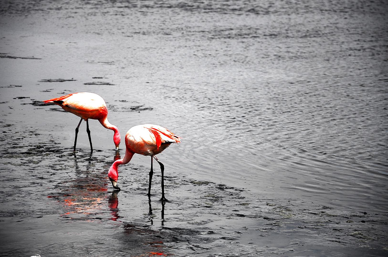 flamingos bei uyuni