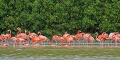 Flamingos, Celestun 3