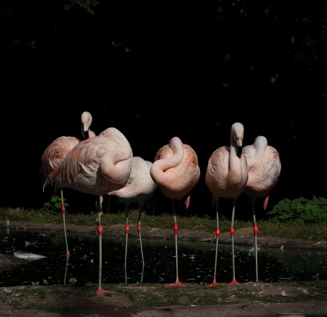 Flamingos halten Siesta