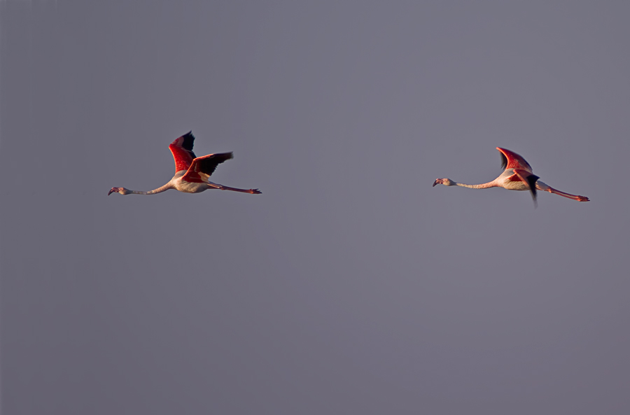 Flamingos im Abendlicht über der Camarque