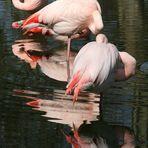 Flamingos im Kölner Zoo bei der Mittagspause