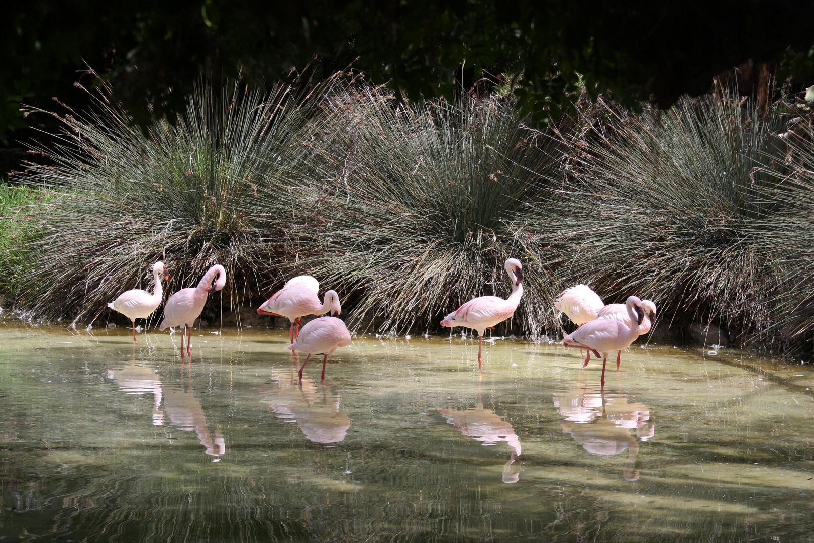 Flamingos im Oasis Park Fuerteventura