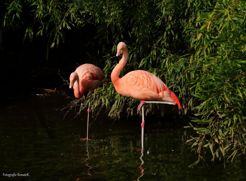 Flamingos im Osnabrücker Zoo