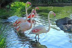 Flamingos im Pool (Zoo Neuwied)
