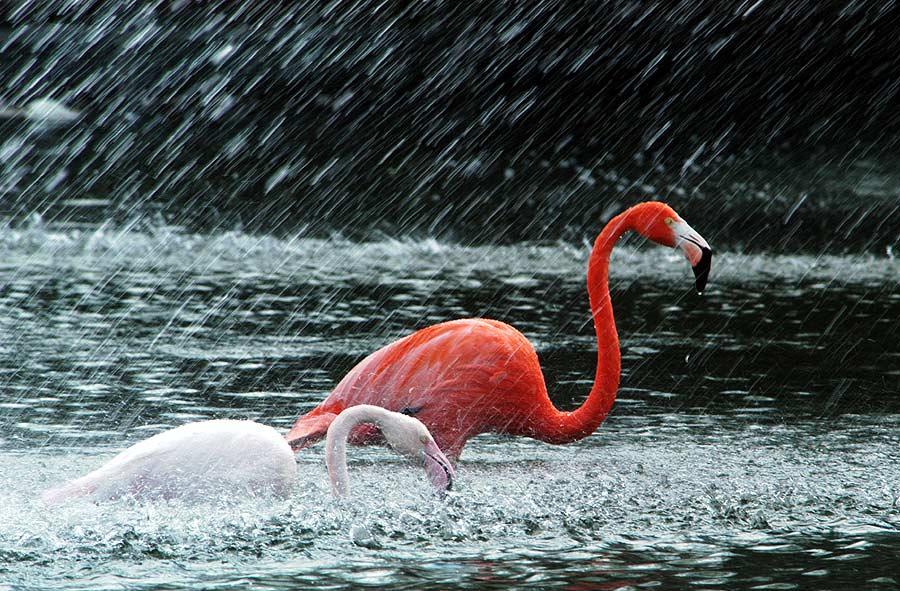 Flamingos im Regen
