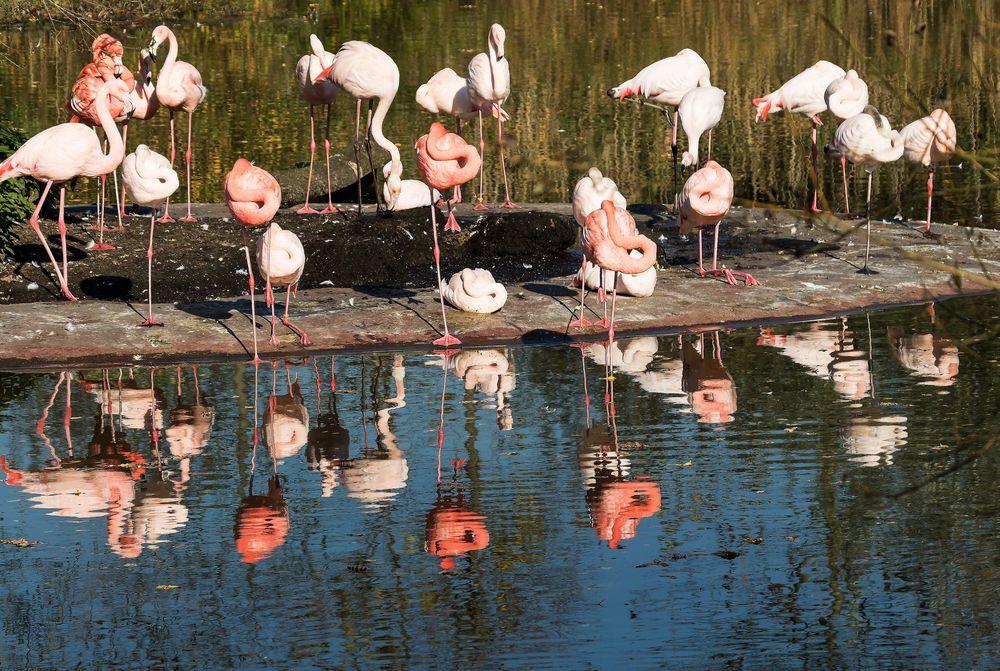 Flamingos im Spiegel