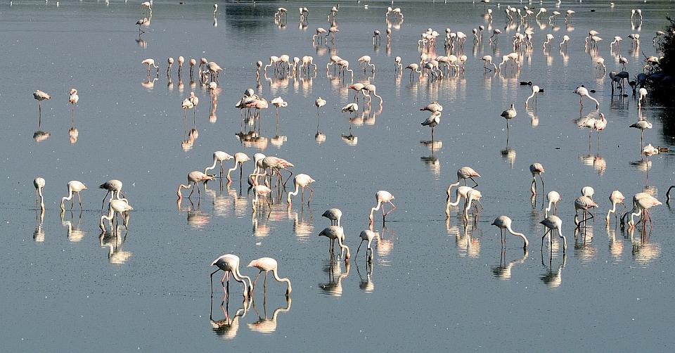 Flamingos im Spiegel,  Flamencos reflejando,