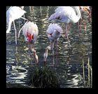 Flamingos im Tierpark Dälhölzli, Bern