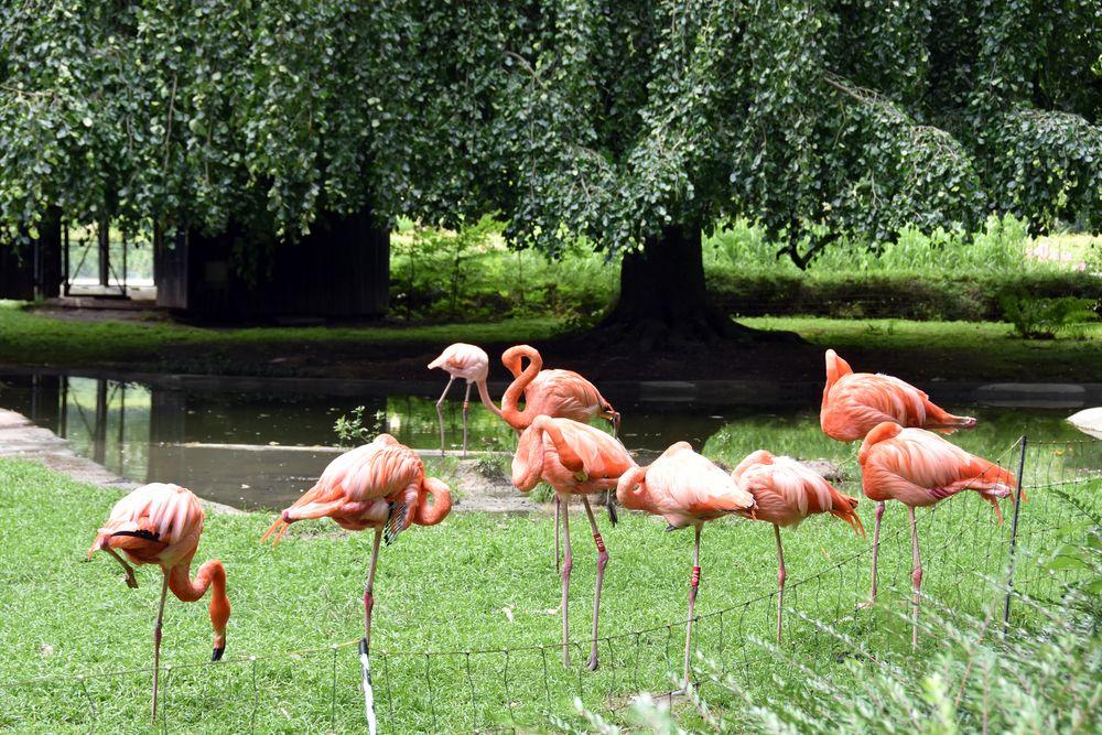 Flamingos im Zoo Rostock