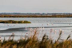 Flamingos in Commacchio
