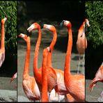 Flamingos in concert