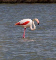 Flamingos in der Camarque