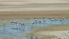 Flamingos in Europa