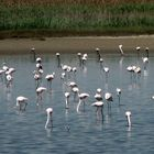 FLAMINGOS IN KALOCHORI'S LAGOON (THESSALONIKI)