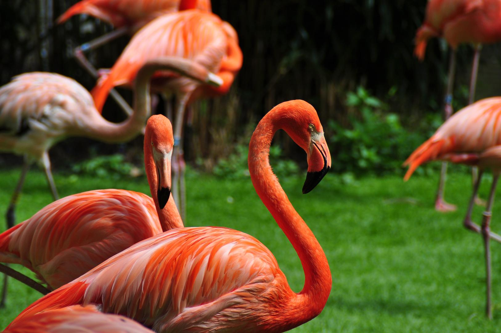 Flamingos // Kölner Zoo // Mai 2015