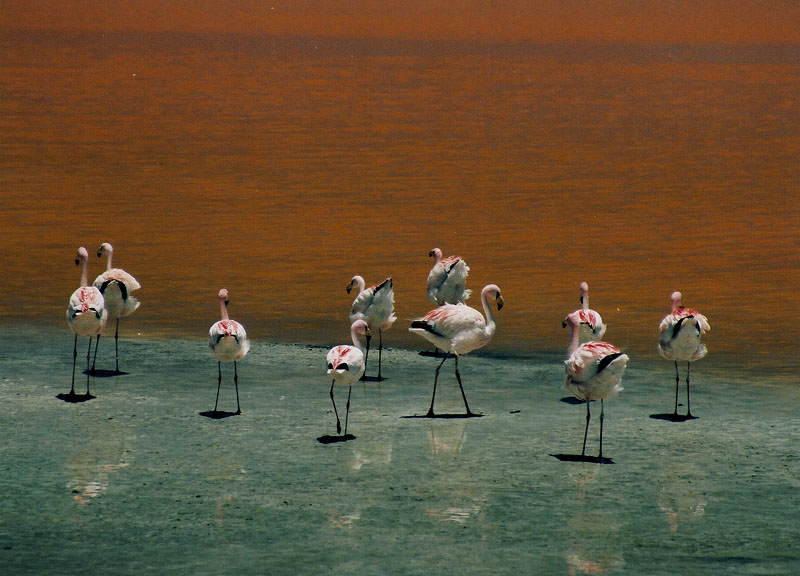 Flamingo's Laguna Colorada Bolivia