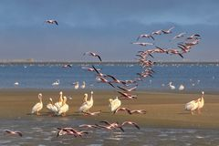 *flamingos meet pelicans*