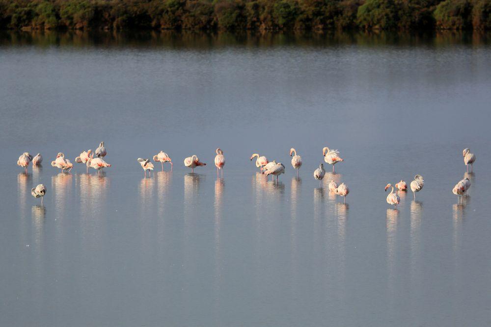 Flamingos sammeln sich zum Abflug nach Afrika
