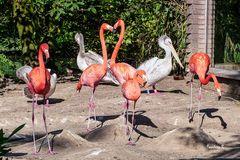 Flamingos und Pelikane - Konkurrenz - wer ist schöner?