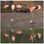 """Flamingosee"" - Ballett"