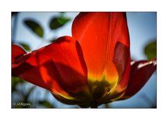 Flamme im Licht - Tulpe II