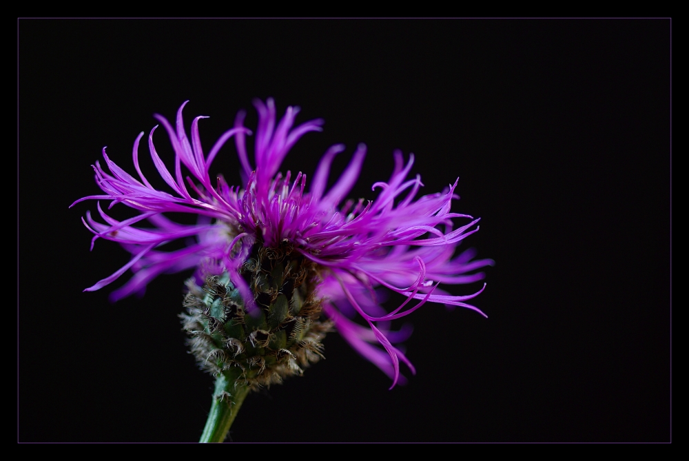 ... flammes violettes ...