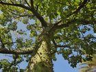 flaschenbaum 3