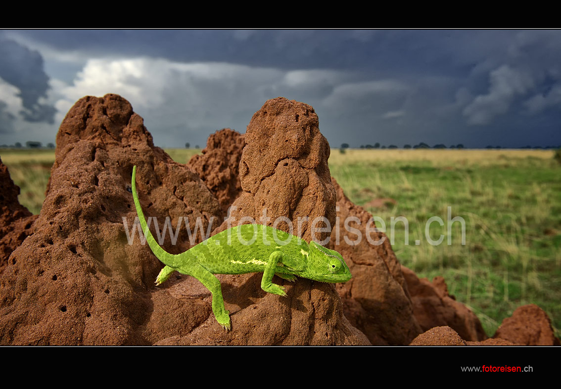 Flatneck-Chameleon