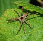 Flauschige Spinne....
