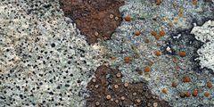 Flechten-Kunstwerk auf einem Felsen! * - Un choix de lichens sur un rocher.