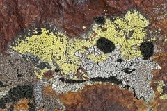 Flechten-Moos-Fantasie auf rostfarbigem Felsen. - L'art des lichens n'a pas de limites...