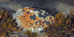 Flechten und Moos schmücken den Felsen! - Le lichen et la mousse décorent le rocher!