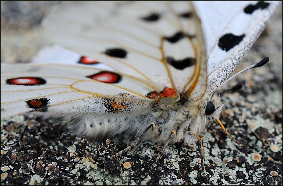 Flechten und Schmetterlinge