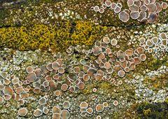 Flechtengemeinschaft  auf uraltem Holzgeländer. - Des lichens sur une vielle barrière en bois.