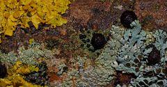 Flechtenvielfalt auf einem alten vereisten Eschenstamm! - Les lichens aiment être en compagnie...