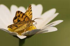 Fleckenspanner Pseudopanthera macularis