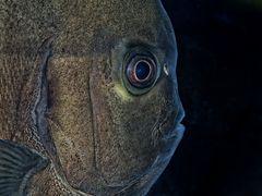 Fledermausfisch